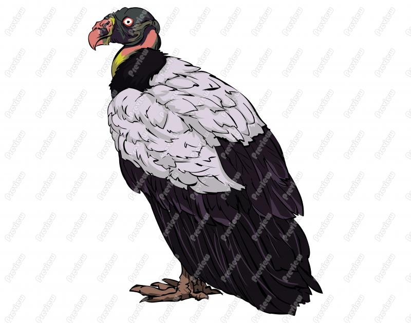 Realistic King Vulture Bird Character Clip Art.