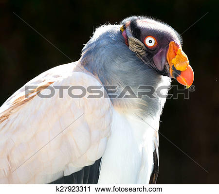 Stock Photography of King Vulture Bird k27923311.