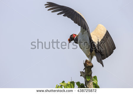King Vulture Stock Photos, Royalty.