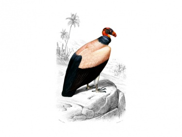 Bird King Vulture Clipart: Large Vintage Instant Download.