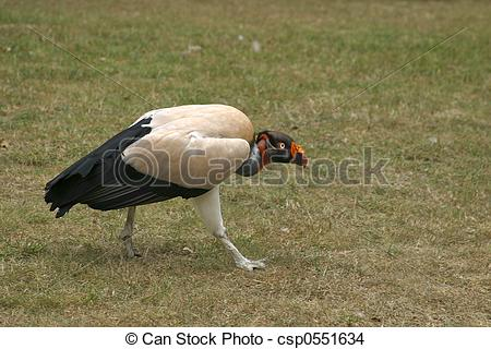Stock Photo of King Vulture.