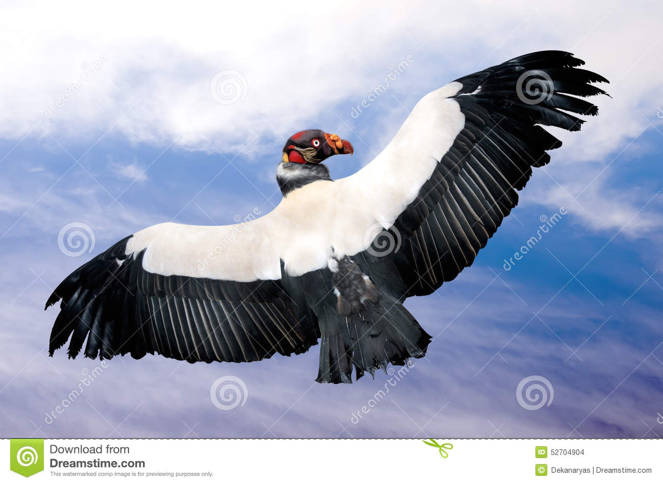 King Vulture In Flight (Sarcoramphus Papa) Stock Photo.