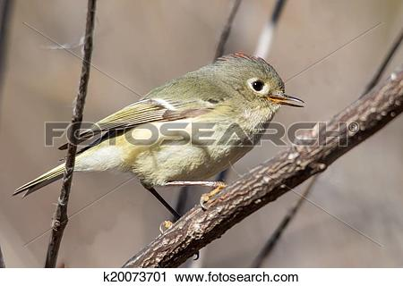 Stock Photography of Ruby crowned kinglet k20073701.