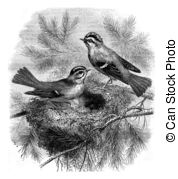 Kinglet Illustrations and Stock Art. 9 Kinglet illustration.
