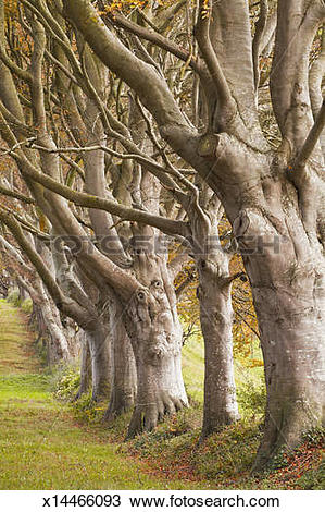 Stock Photo of The Beech Avenue at Kingston Lacy. x14466093.