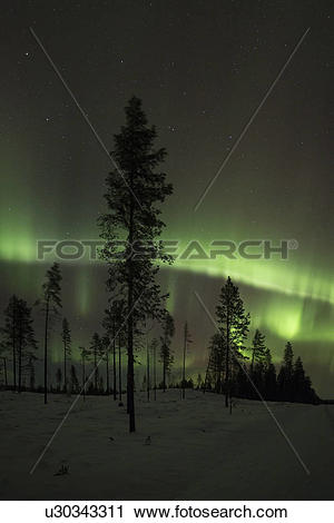 Stock Photography of Northern lights over pine forest near Kiruna.