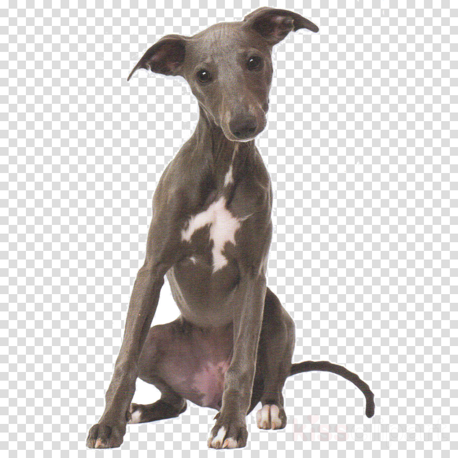 dog italian greyhound whippet sighthound galgo español.