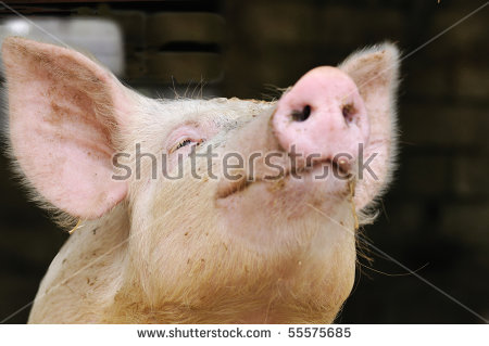 Pig Snout Stock Images, Royalty.