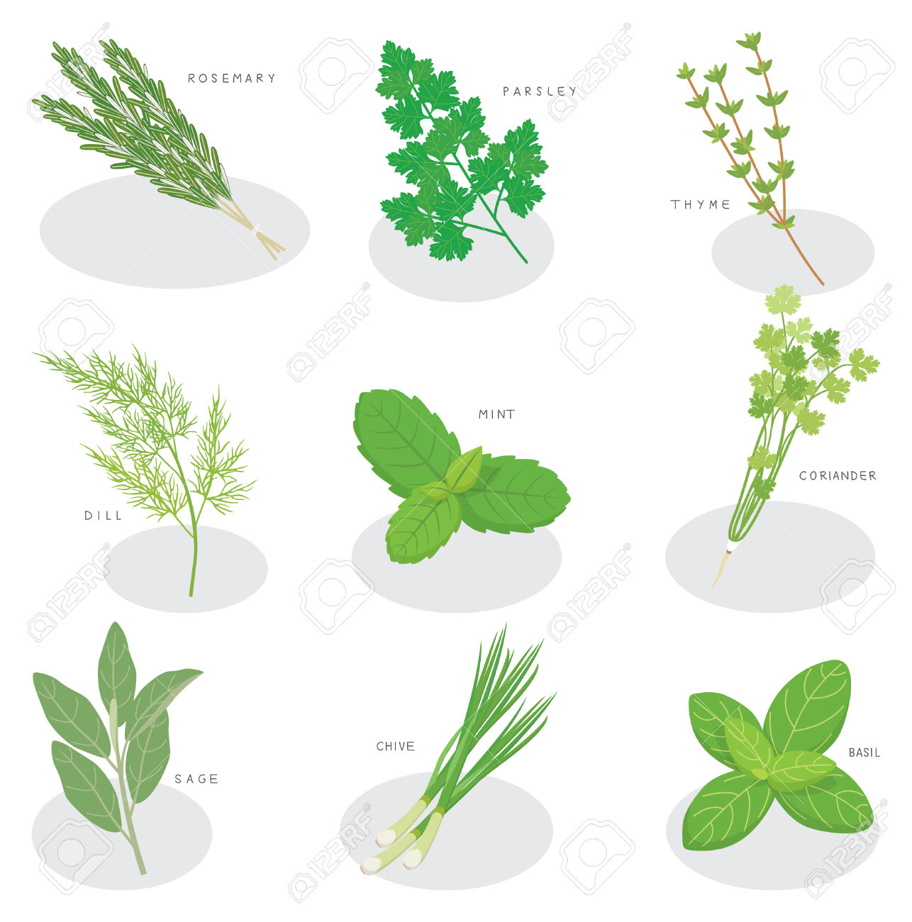 Collection Of Fresh Herbs Isolated: Mint, Basil, Rosemary, Parsley.