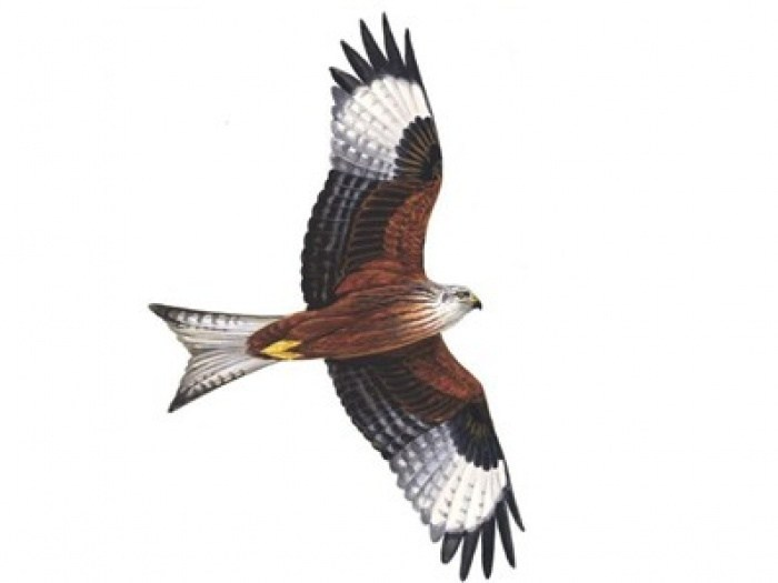 Kite bird clipart 5 » Clipart Portal.