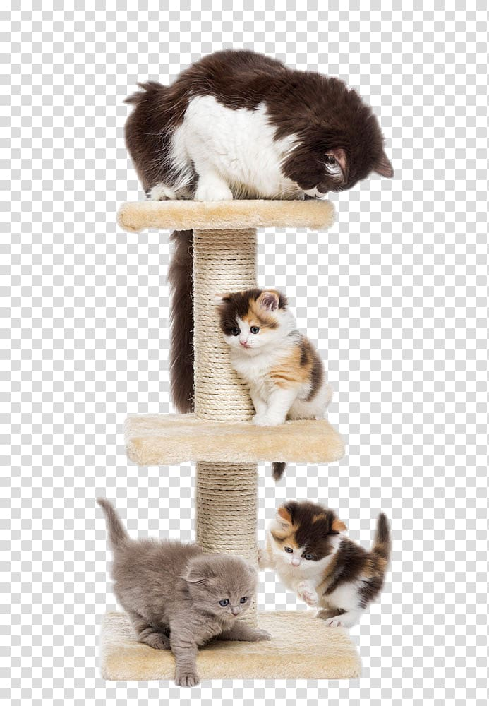 Scottish Fold Kitten Puppy Dog Cat tree, Two cute cats.