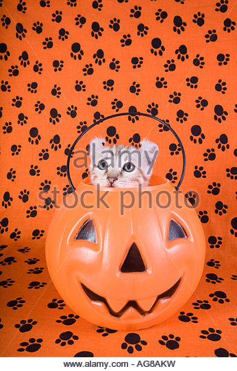 Kitten Inside Halloween Pumpkin Stock Photos & Kitten Inside.