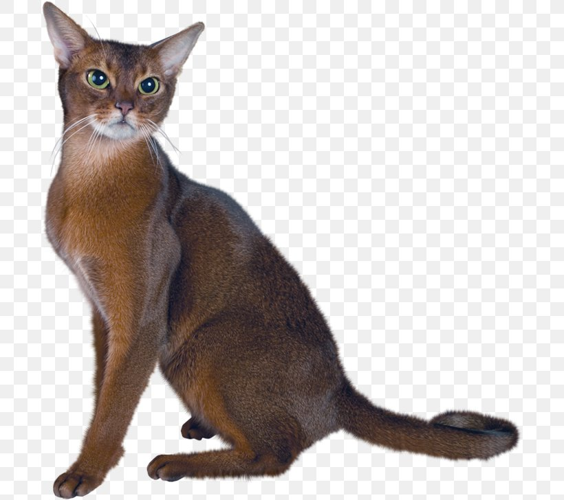 Persian Cat Abyssinian Maine Coon Kitten Clip Art, PNG.