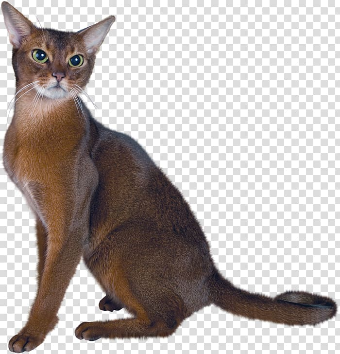 Brown cat, Persian cat Abyssinian Maine Coon Kitten , Large Cat.