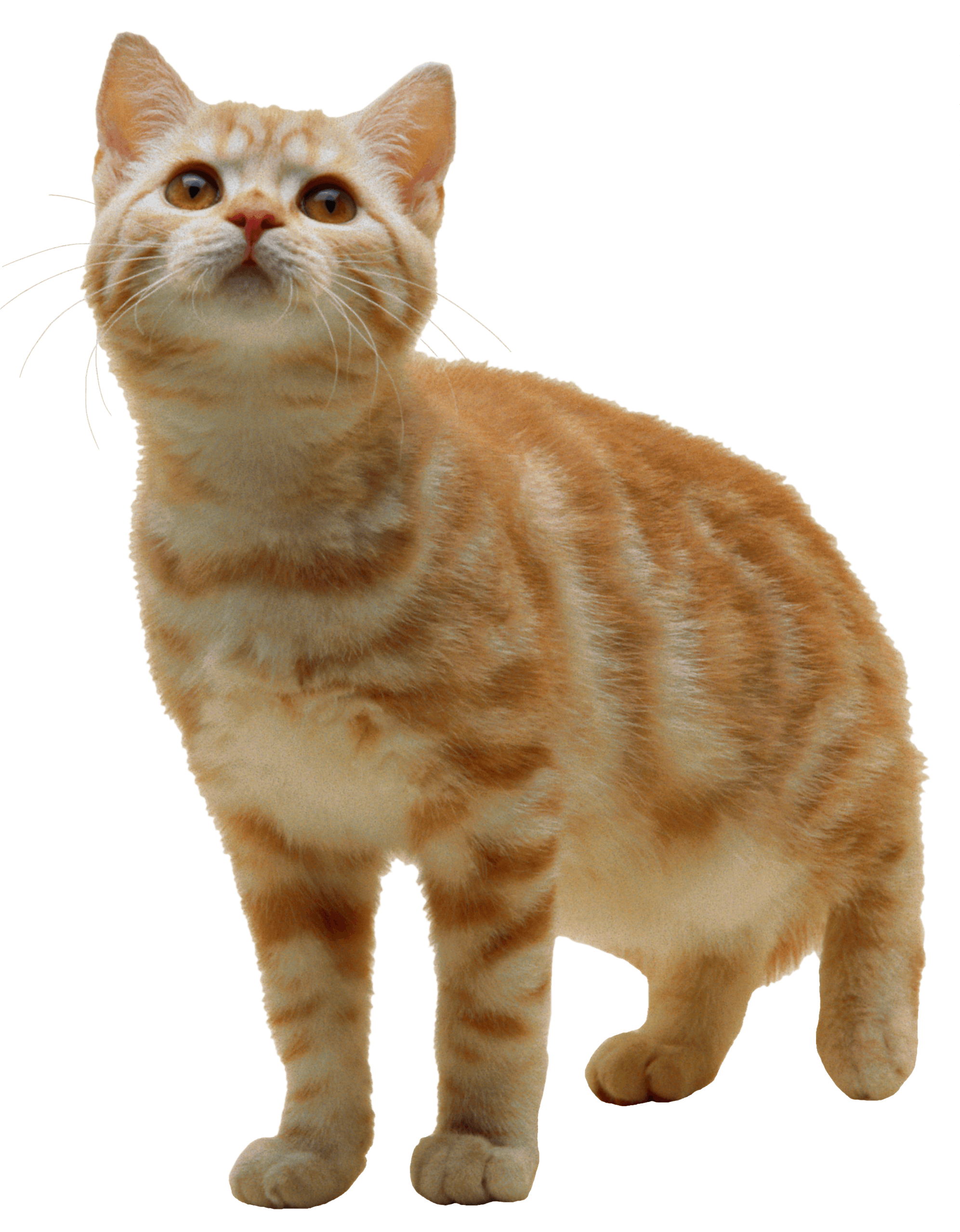 Sweet Cat Kitten PNG PNG Image.