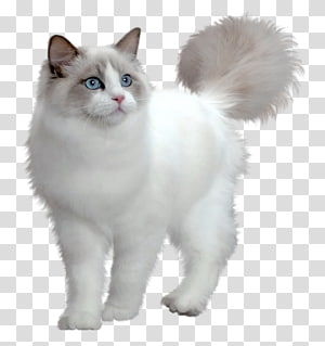 Persian cat Kitten Puppy Cuteness, Large Cute Cat , white cat.