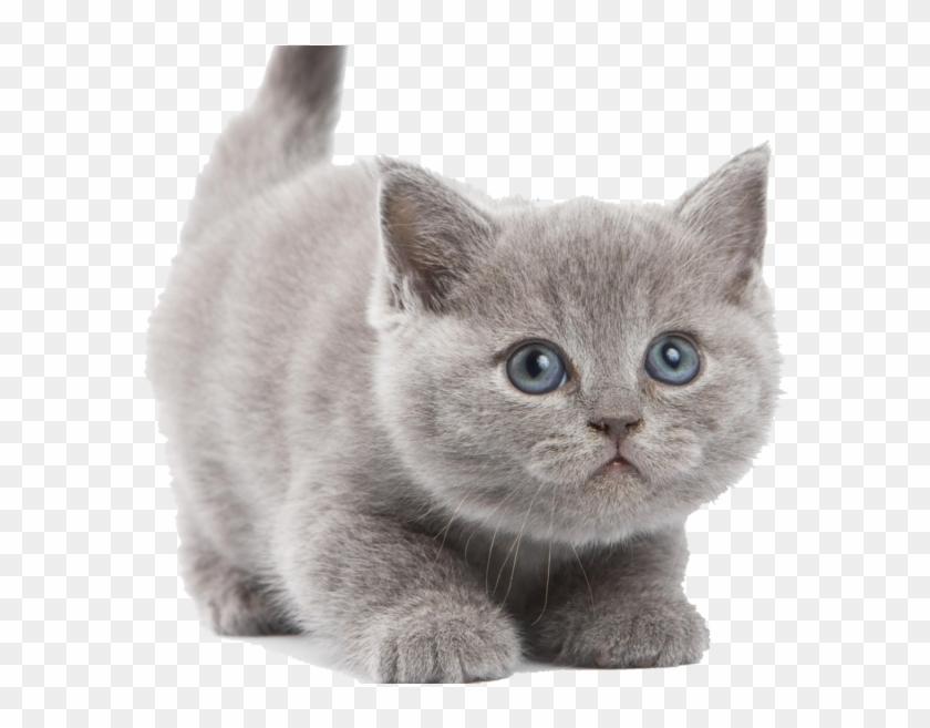 Kitten Png Image.