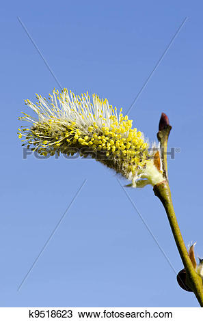 Stock Photo of Closeup macro spring kittens goat willow sky.