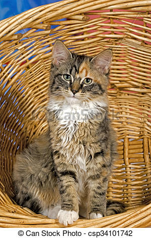 Stock Photo of Kitten Calico sitting in willow basket, portrait.