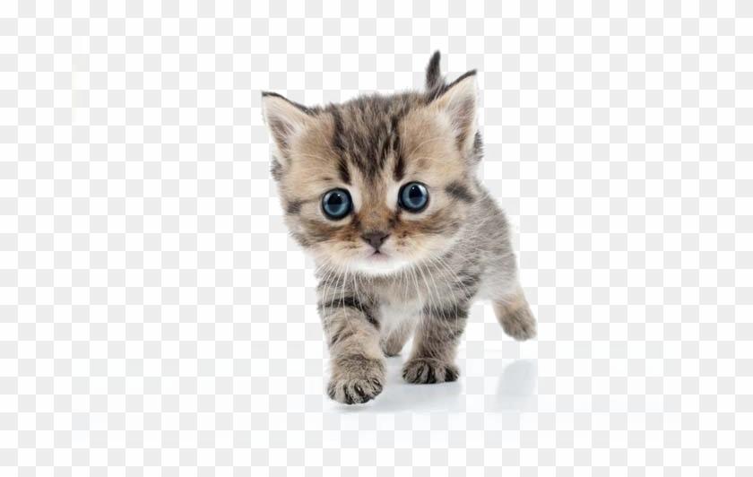 Kitten Transparent Image.