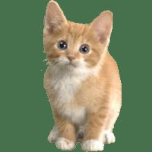 Kitten transparent background image.