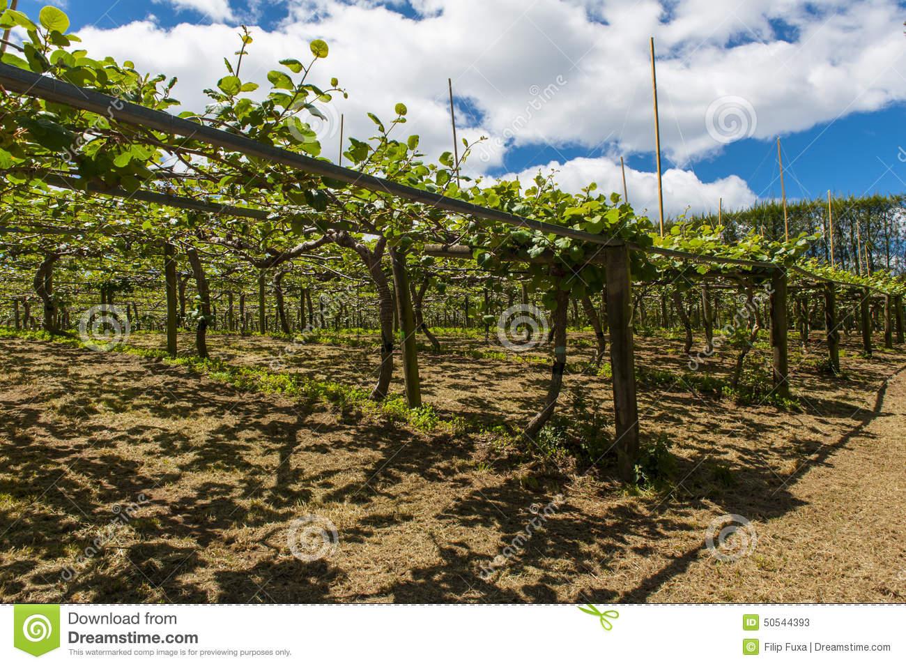 Kiwi Plantation Stock Photo.