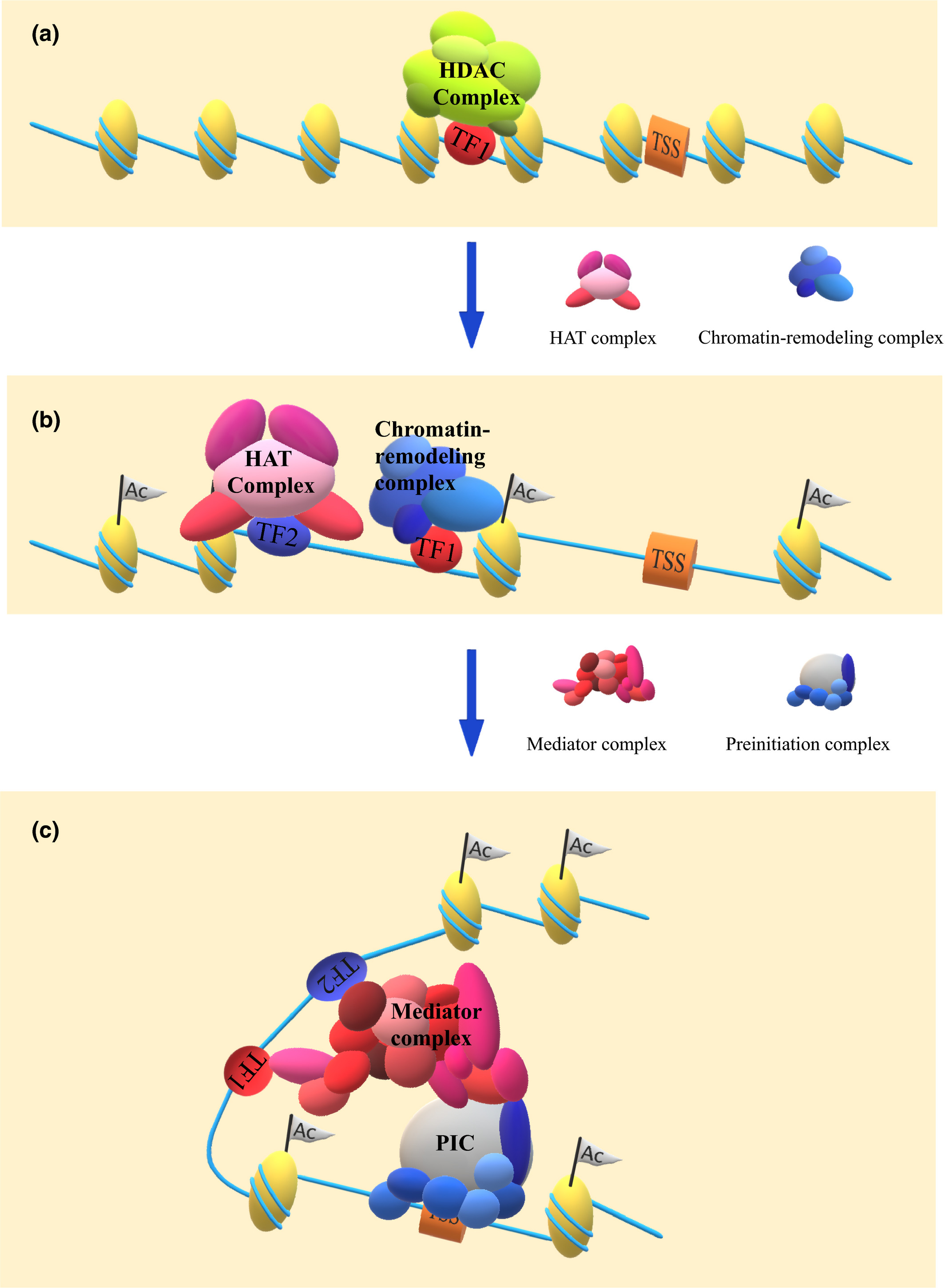 Enhancer function regulated by combinations of transcription.