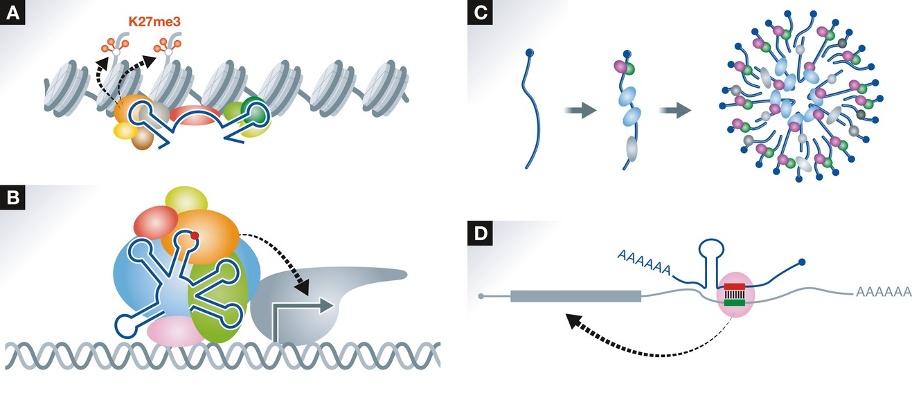 Elements and machinery of non‐coding RNAs: toward their.