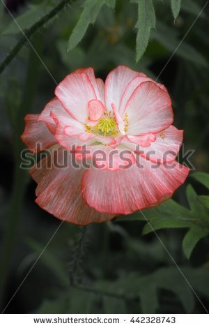 Rhoeas Stock Photos, Royalty.
