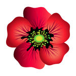 Vector Illustration of Red poppy isolated on white. Spring flower.