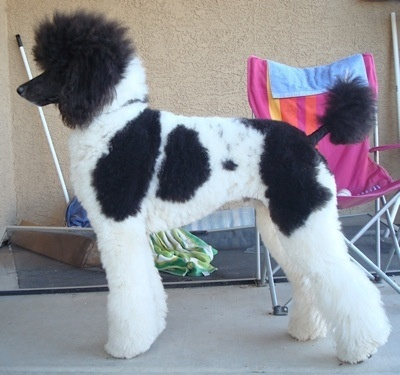 17 best images about Standard Poodle Love on Pinterest.