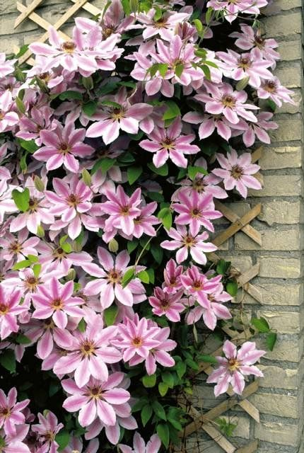 Clematis 'Nelly Moser'.