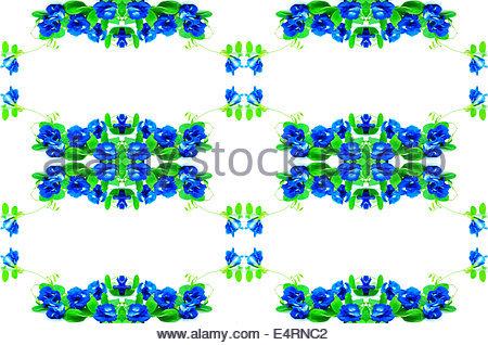 Butterfly Pea Or Blue Pea Vine (clitoria Ternatea), Blossom Stock.