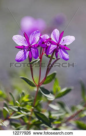 Stock Images of A closeup view of a Dwarf Fireweed plant in Kluane.