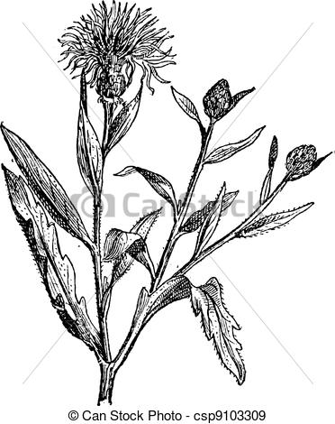 Knapweed Vector Clipart Illustrations. 181 Knapweed clip art.