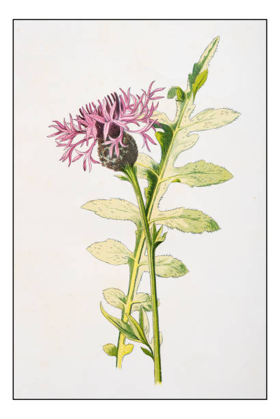 Knapweed Clip Art, Vector Images & Illustrations.