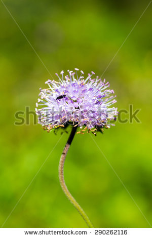 Knautia Flower Arvensis Stock Photos, Images, & Pictures.