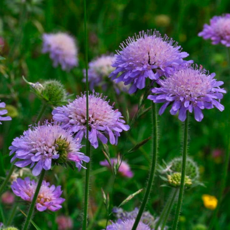 17 Best images about Knautia arvensis Knautia arvensis on.