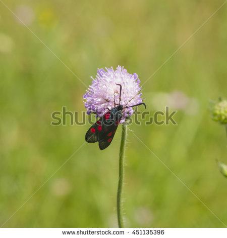 """meadows Scabious"""" Stock Photos, Royalty."""