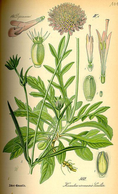 17 Best images about Knautia arvensis Knautia arvensis on.