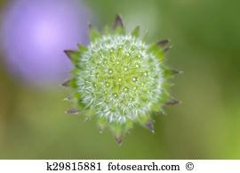 Knautia arvensis Stock Photos and Images. 81 knautia arvensis.