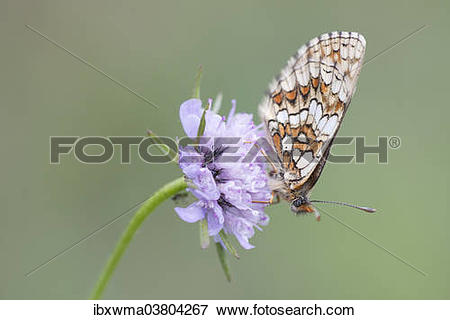 """Picture of """"Heath Fritillary (Melitaea athalia), butterfly perched."""