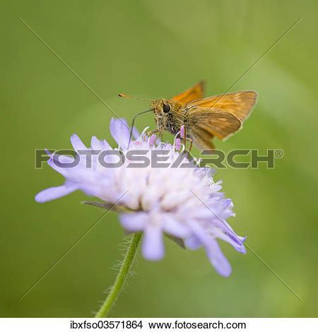 "Stock Photo of ""Large Skipper Butterfly (Ochlodes sylvanus."