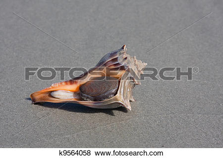 Pictures of Knobbed Whelk k9564058.