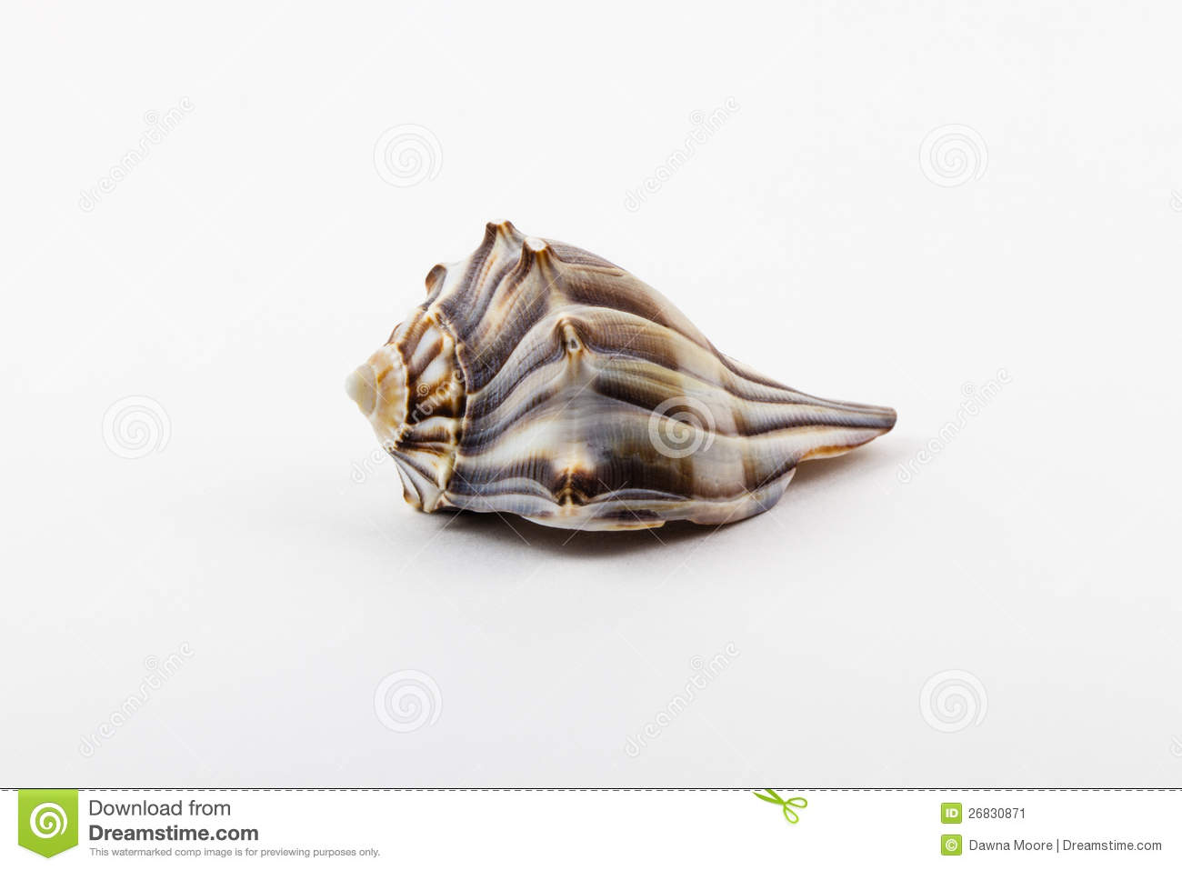 A Knobbed Whelk. Stock Image.