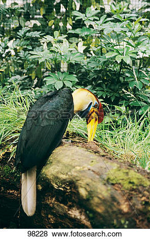 Pictures of Knobbed Hornbill sitting on bole / aceros cassidix.