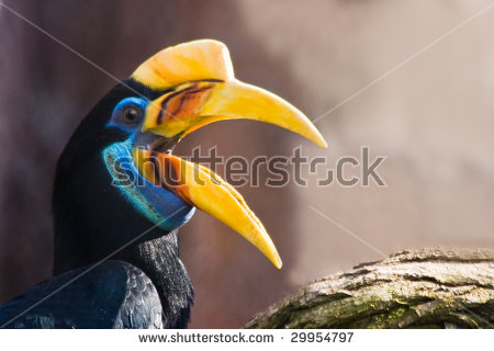 Knobbed Hornbill Stock Photos, Images, & Pictures.