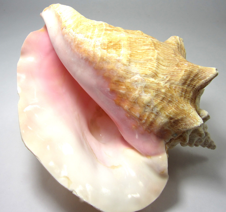 Conch seashells.