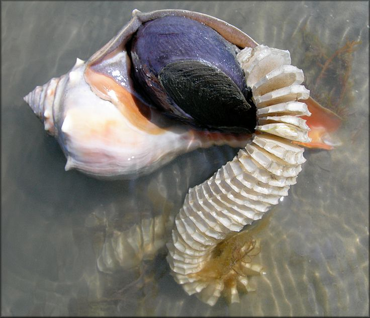 1000+ images about Shells on Pinterest.