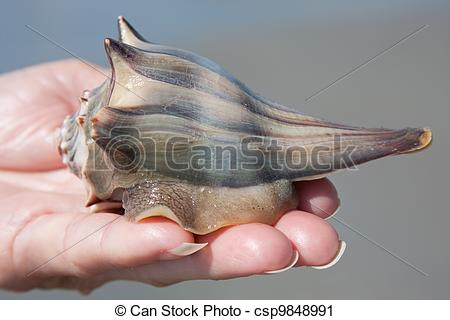 Stock Photography of Holding A Whelk.
